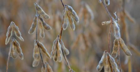 closeup of ripe soybean pods