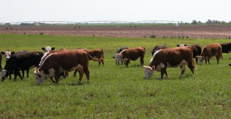 Cattle grazing wheat pasture