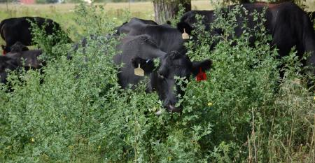 Cattle grazing in a diverse environment