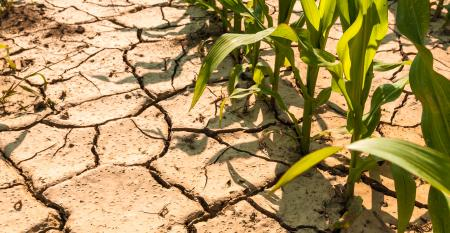 Corn on parched field.