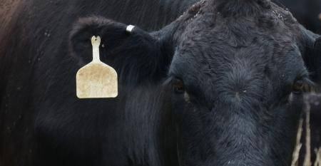 Angus cow with metal brucellosis tag in her ear
