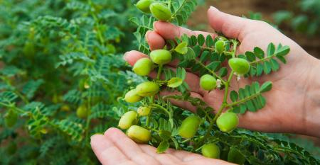 Woman shows chickpeas in close up. Chickpea are growing on the field