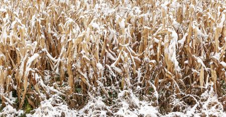 Mature rows of field corn covered with snow with woods in the background.