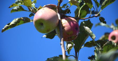 DFP-RonSmith-apple-picking.jpg