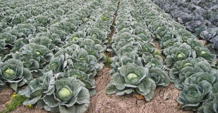 Extension-Cabbage-in-RGV.jpg