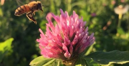 A bee approaches a clover plant. Iowa State scientists are studying if placing honeybee hives near prairie will help them keep up honey stores later into the winter.