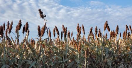 SWFP-SHELLEY-HUGULEY-19-SORGHUM-SKY-WEB.jpg