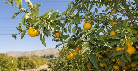WFP_Todd_Fitchette_UCR_Citrus_Research.jpg