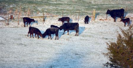 calves-in-snow-2.jpg