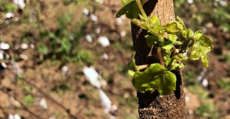 cotton-regrowth-jan-ga.jpg