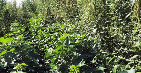 sefp-brad-haire-cotton-clean-pigweed-jungle-low.jpg