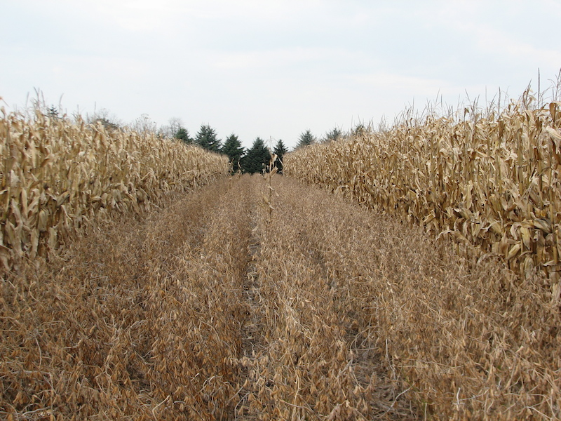 mature corn and soybeans in strips