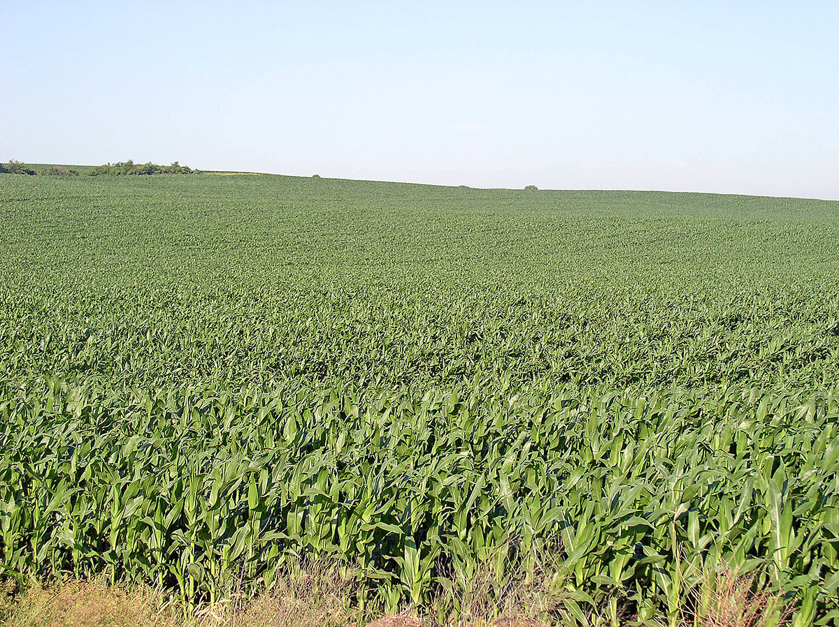 healthy corn stand in cover crop residue